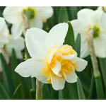 Narcissus 'Sweet Desire'