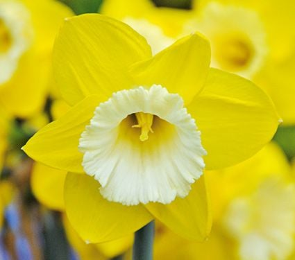 Narcissus 'Greengarden'