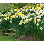 Large-Cupped Daffodil Naturalizing Mix