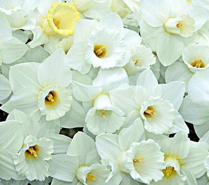 Trumpet Solo for Spring (White Trumpet Daffodil Mix)