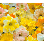 A Mix of Butterfly Daffodils