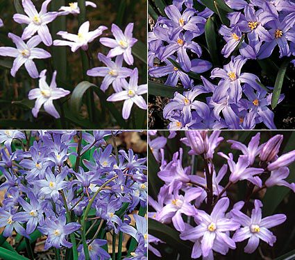 Chionodoxa - Glories of the Snow Mix