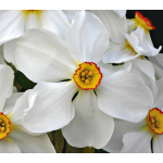 Narcissus 'Ornatus'