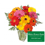 Salsa Serenade Gerbera Daisy Bouquet with Vase Plus $50 Gift Card - Standard Shipping Included