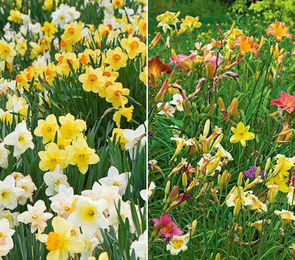 Collaboration for Sun for the North - Daffodils & Daylilies