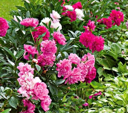 Old-time Peony Collection