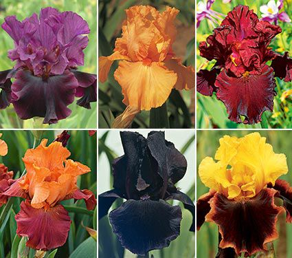 Bold Colors Bearded Iris Collection