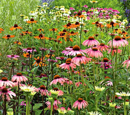 A Rainbow of Coneflowers