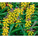 Muscari macrocarpum Golden Fragrance