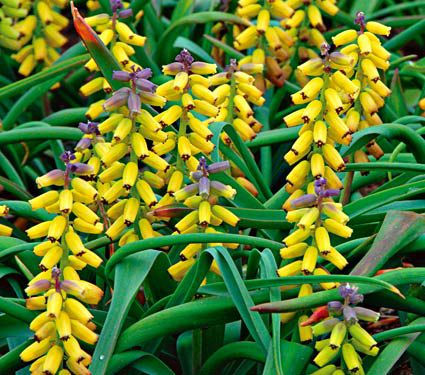 Muscari macrocarpum 'Golden Fragrance'