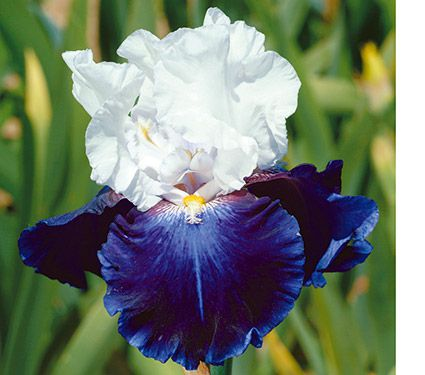 Iris Captain's Choice
