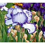 Reblooming Iris 'Presby's Crown Jewel'