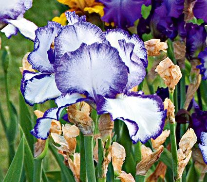 Reblooming Iris Presby's Crown Jewel