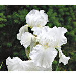 Reblooming Iris 'Immortality'