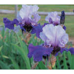 Reblooming Iris Best Bet