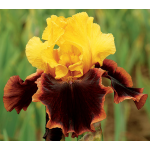 Iris 'Ancient Echoes'
