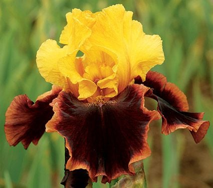 Iris Ancient Echoes
