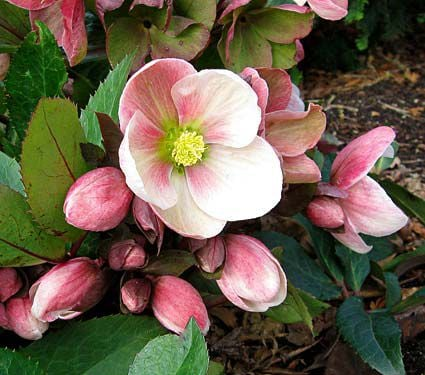 Helleborus Gold Collection® 'Pink Frost'