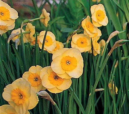 Narcissus 'Sun Disc'