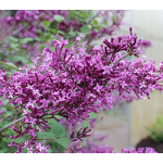Syringa Bloomerang® Dark Purple - Reblooming Lilac