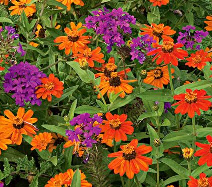 Verbena & Zinnia Duo Annual Collection 4 plants