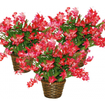Holiday Cactus Red in Woven Basket - Standard Shipping Included