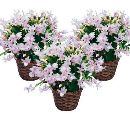 Holiday Cactus Blush in Woven Basket - Standard Shipping Included