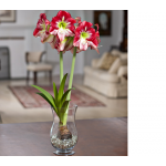 Amaryllis 'Flamenco Queen,' one bulb, hurricane vase, and river pebbles