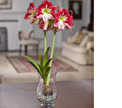 Amaryllis flamenco queen one bulb in an 11 1 2 hurricane for Planter bulbe amaryllis