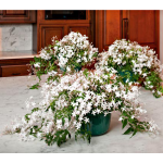 Jasmine in Nursery Pots to 3 Different Addresses - Standard Shipping Included
