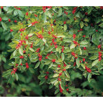 Winterberry Pair