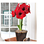 Red Amaryllis in Woven Basket
