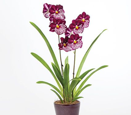 1 Miltonia Orchid in 5