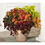 Coleus Symphony Annual Collection