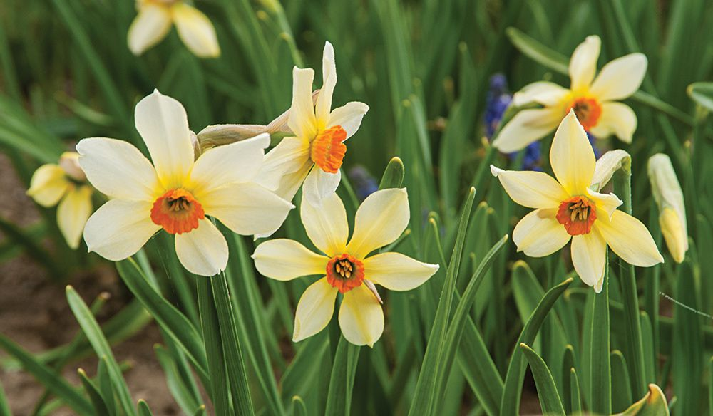 Narcissus 'Firebird'