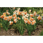 Narcissus 'Sunny Girlfriend'