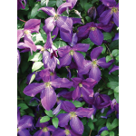 Clematis Happy Jack™ Purple