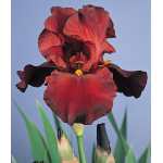 Iris 'War Chief'