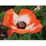 Papaver orientale 'Pinnacle'