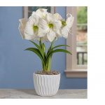 Amaryllis Moscow in white ceramic cachepot