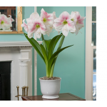 Amaryllis Rosy Star, one bulb in 8