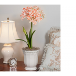 Amaryllis Dancing Queen®, one bulb in white metal cachepot