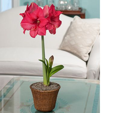 Amaryllis 'Pink Surprise'