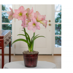 Amaryllis 'Sweet Star'