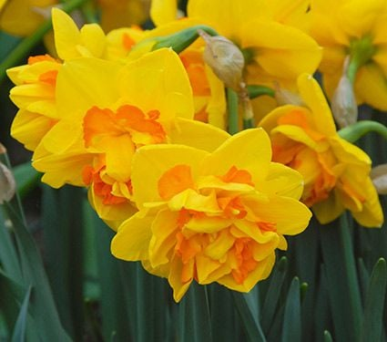 Narcissus 'Le Torch'