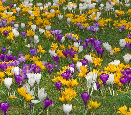 Route 63 Crocus Mix
