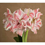 Amaryllis First Love&reg