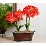 Amaryllis Sunny Nymph, two nursery pots in a 15