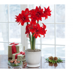 Amaryllis Double Delicious, one bulb in white footed cachepot