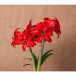Amaryllis Double Delicious